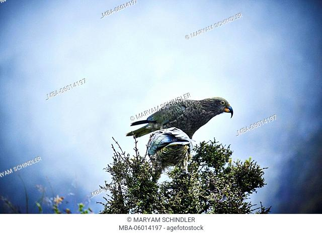 New Zealand, south island, two Keas, mountain parrot, sit on bushes