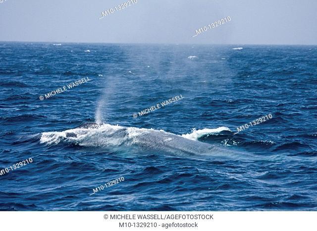 Blue whale spout  Blue whale spouts are single-column spout up to 12 metres