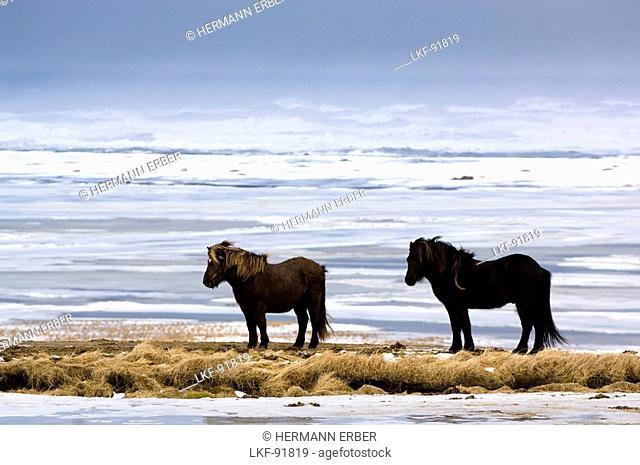 Two horses on tongue of land, Iceland