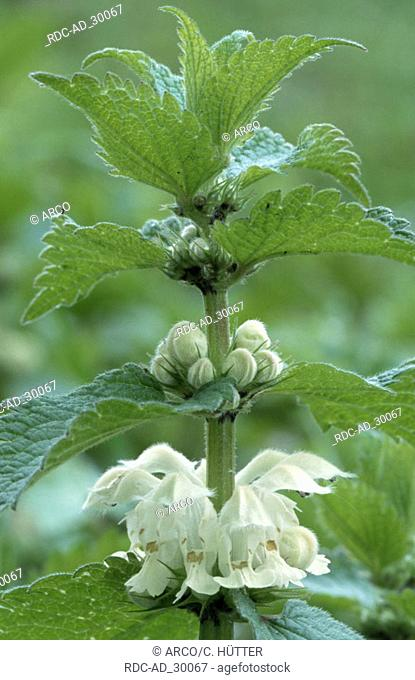 White Dead-nettle North Rhine-Westphalia Germany Lamium album