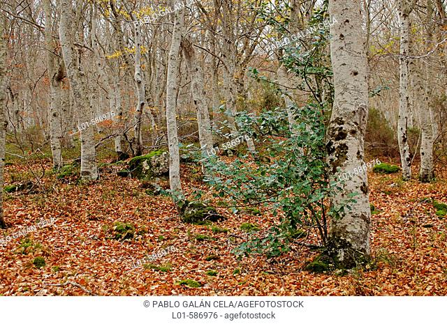 Birches. Sierra del Moncayo. Zaragoza province. Spain