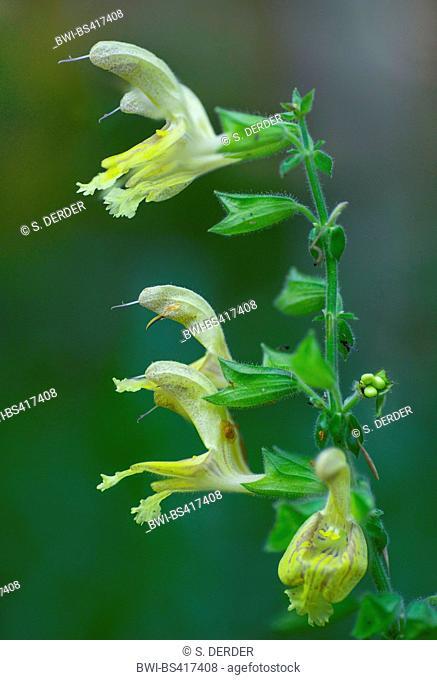 Hardy sage, Sticky sage (Salvia glutinosa), inflorescence, Germany, Bavaria, Oberbayern, Upper Bavaria