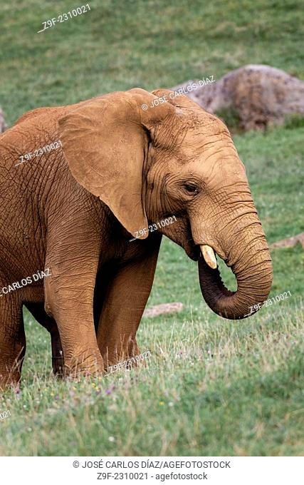 An African elephant in the Cabarceno Nature Park, Cantabria, Spain