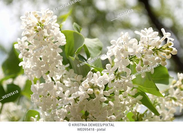 Two sunlit pannicles of a fragrant white lilac
