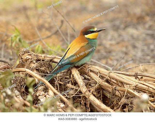 One European Bee Eater posed in Garrotxa, Catalonia, Spain