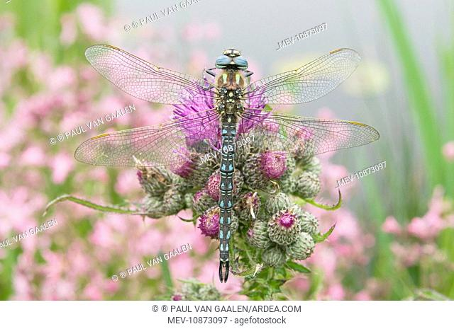 Hairy Dragonfly - Male on marsh thistle (Brachytron pratense). The Netherlands - Overijssel - De Wieden