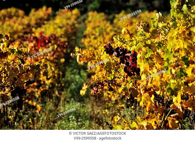 Vineyards in autumn. France