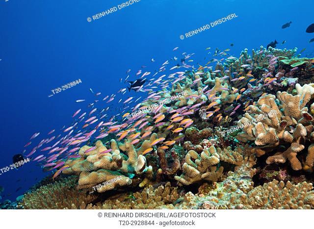Whitleys Slender Basslet and Redfin Anthias, Luzonichthys whitleyi, Pseudanthias dispar, Christmas Island, Australia