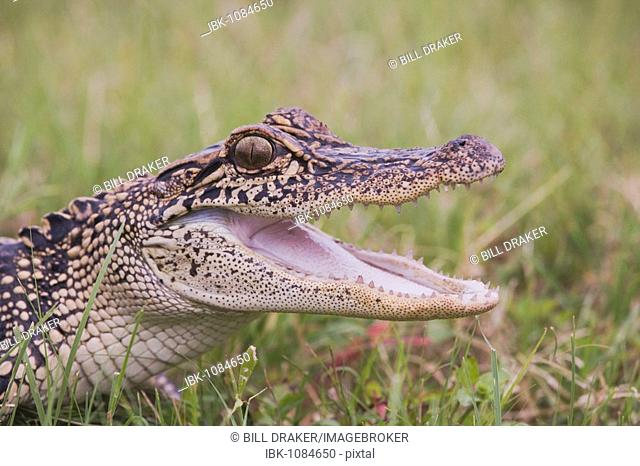 American Alligator (Alligator mississipiensis), young in grass with mouth open, Sinton, Corpus Christi, Texas, USA