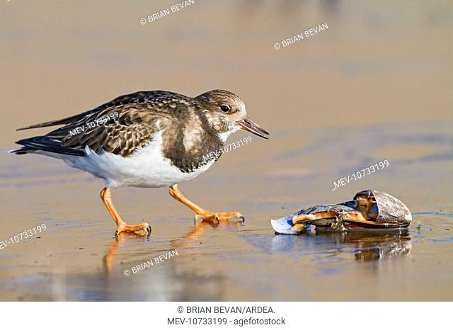 Turnstone - on ice feeding on mussel (Arenaria interpres)