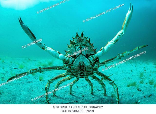 Spider crab in fighting pose, Inishmore, Aran Islands, Ireland