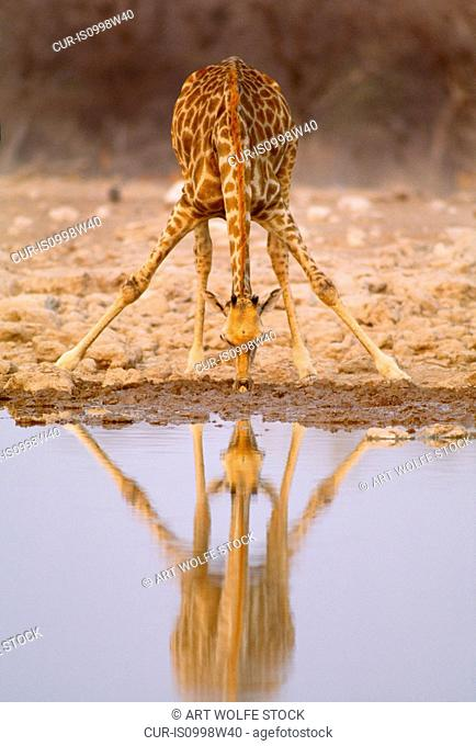 South African Giraffe, Etosha National Park, Namibia