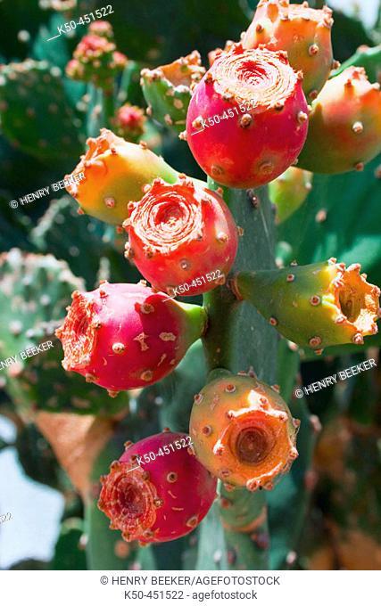Fruits on Beavertail cactus (opuntia basilaris)