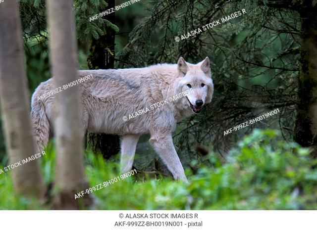 CAPTIVE: Adult Grey Wolf walks amongst foliage at Seattle's Woodland Park Zoo, Washington, Summer