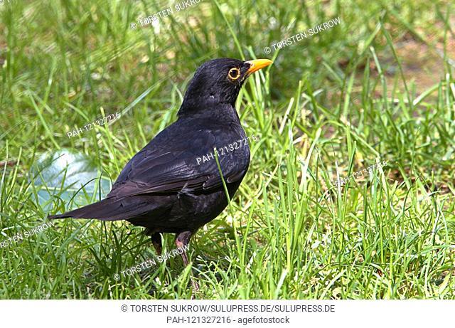 A male Blackbird (Turdus merula) or Black Thrush runs on the ground over the pitch. Order: Passeriformes (Passeriformes), Suborder: Songbird (Passeri)