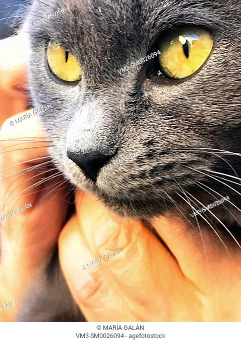 Grey cat's face. Close view