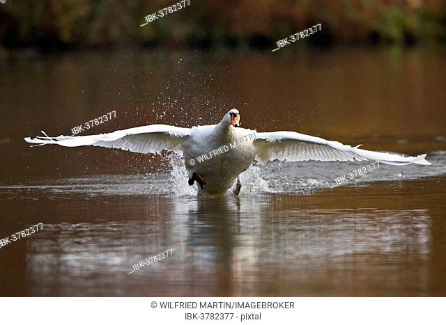 Mute Swan (Cygnus olor) taking off from water, North Hesse, Hesse, Germany