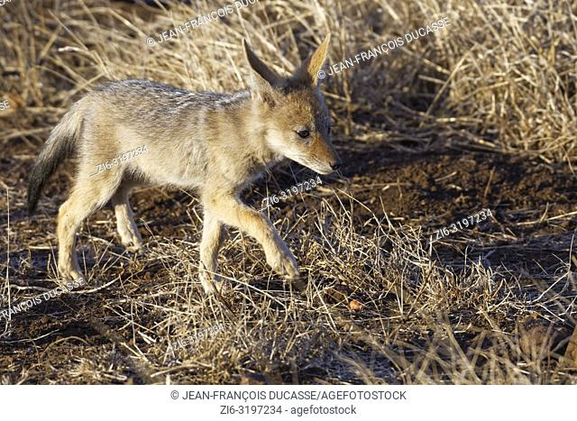 Black-backed jackal (Canis mesomelas), cub, walking on arid ground, Kruger National Park, South Africa, Africa