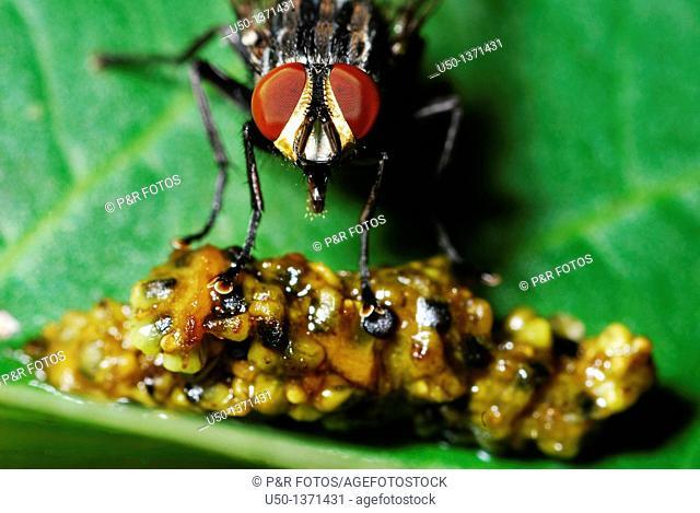 Fly close-up, Diptera, Insecta, 2009