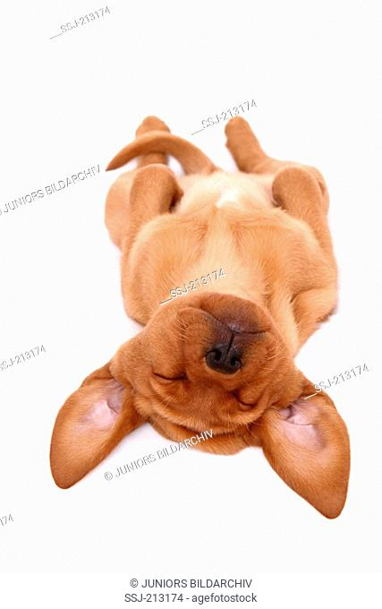 Labrador Retriever. Puppy (8 weeks old) sleeping on its back. Studio picture against a white background. Germany