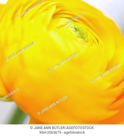 warm and inviting yellow ranunculus giving hope and joy