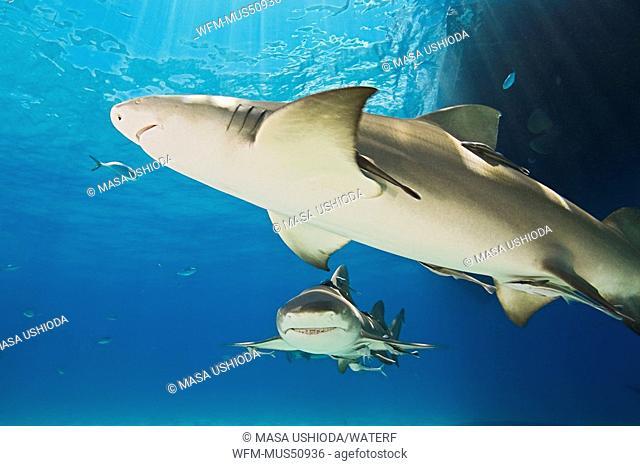 Lemon Sharks, Negaprion brevirostris, West End, Grand Bahamas, Caribbean Sea, Bahamas