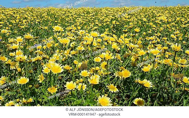 Chrysanthemum in alternative cultivation