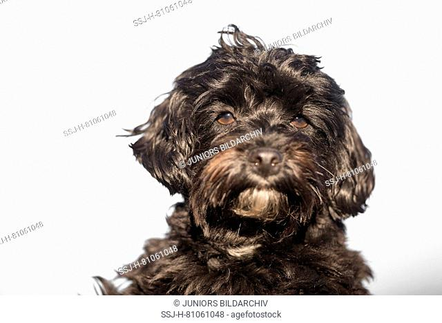 Maltipoo (Maltese x Toy Poodle). Portrait of adult, seen against a white background. Germany