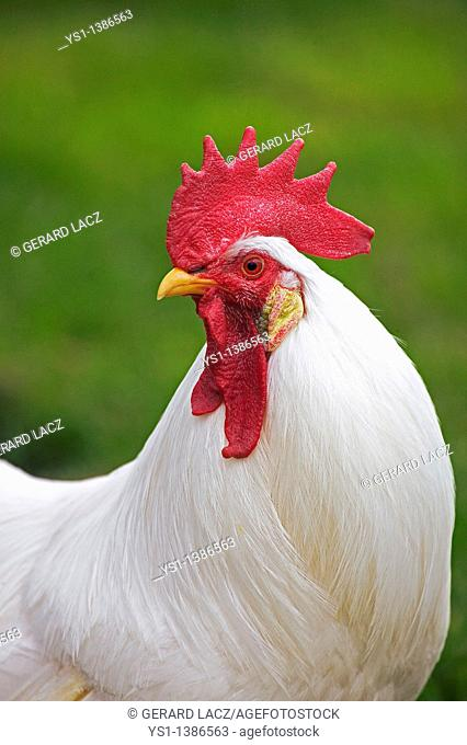 White Leghorn, Domestic Chicken, Portrait of Cockerel