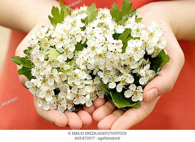Hawthorn flowers (Crataegus monogyna or oxyacantha)