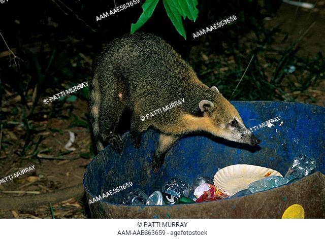 South American Coati in Trash bin (Nasua nasua) Iguazu NP - Argentina