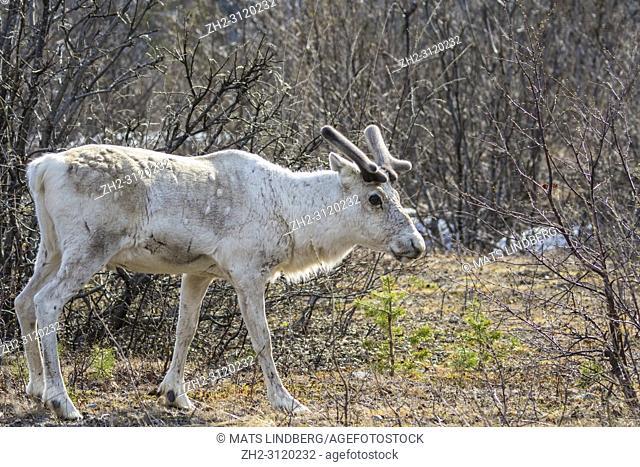 White Reindeer, Rangifer tarandus standing and turning his head towards the camera, Stora sjöfallets national park, Gällivare county, Swedish Lapland, Sweden