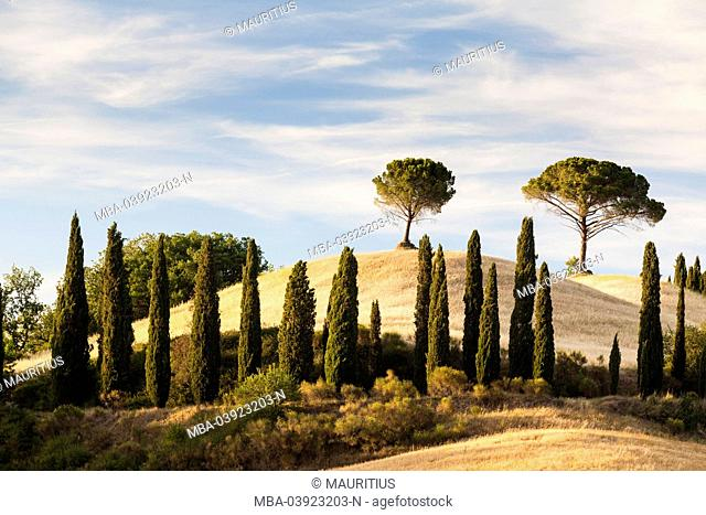 Two exposed pine trees standing on a hill, cypress directly to a barley field in summer