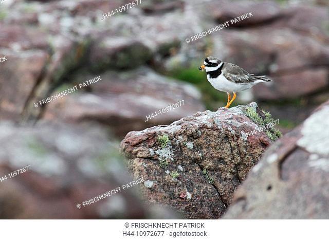1, Charadrius hiaticula, cliff, rocks, cliffs, Great Britain, coast, coastal bird, sea, sea bird, portrait, Ringed Plover, Scotland, stone, stones, animal, UK