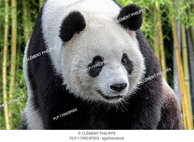 Giant panda / panda bear (Ailuropoda melanoleuca) close up portrait in bamboo forest