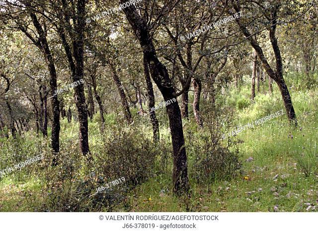 Oak trees forest. Horcajo de los Montes. Ciudad Real province, Spain