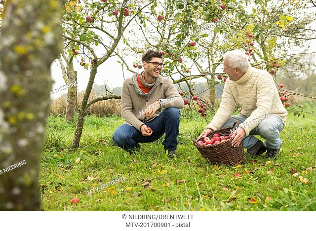 Father and son are happy with the apple harvest in an apple orchard, Bavaria, Germany