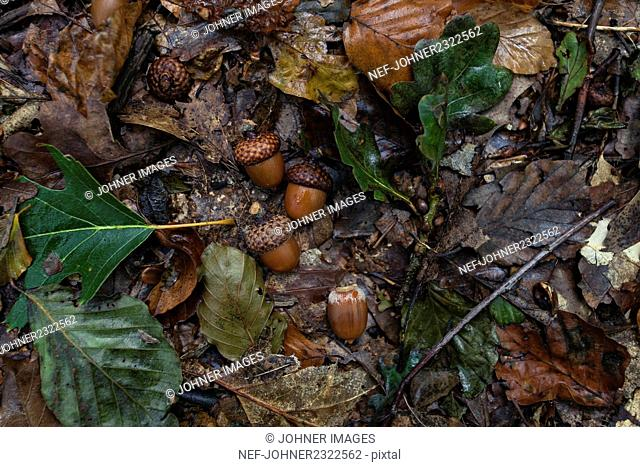 Acorns and leaves in forest