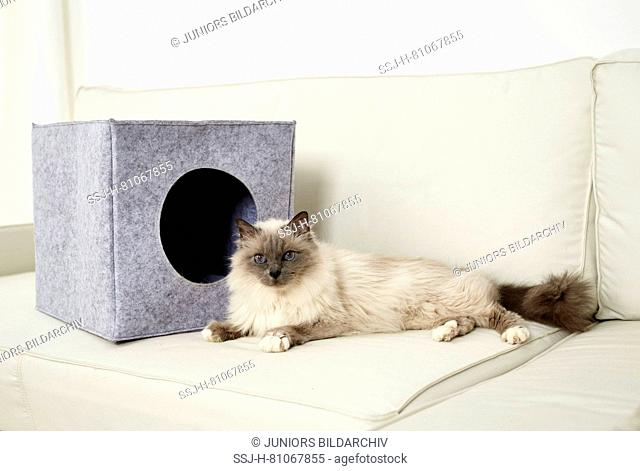 Sacred Birman, Birman. Adult cat lying in front of a felt den, standing on a couch. Germany