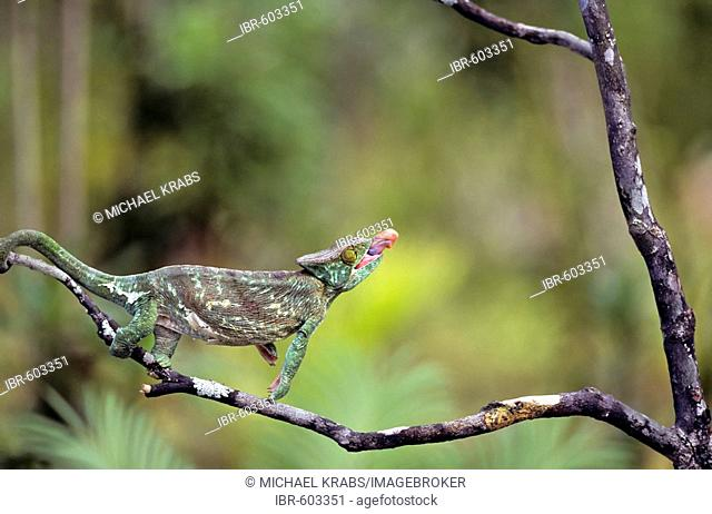 Parson's Chameleon (Calumma parsonii) catching prey with its tongue, Madagascar, Africa