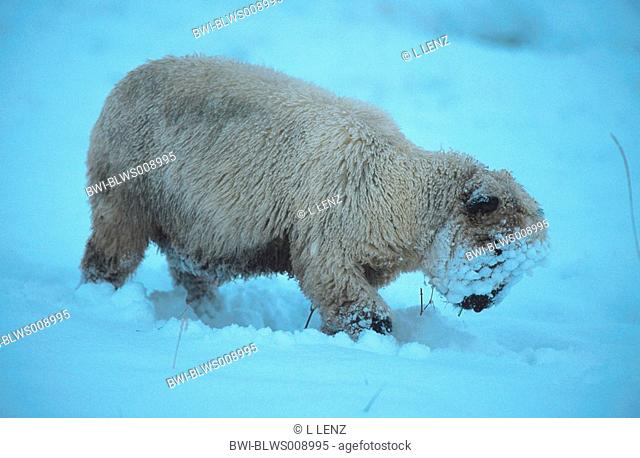 domestic sheep Ovis aries f. aries, walking trough snow