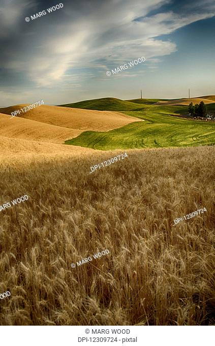 Golden wheat fields and green fields on rolling hills; Palouse, Washington, United States of America