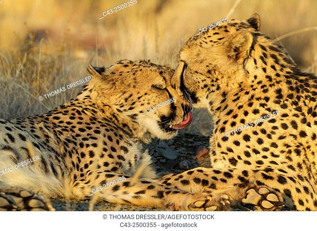 Cheetah (Acinonyx jubatus) - Grooming males in the evening. Photographed in captivity on a farm. Namibia