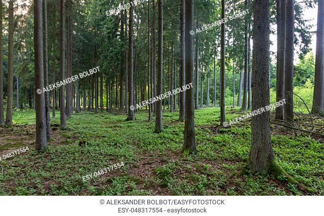 Coniferous forest in sunset with spruce and pine trees,Bialowieza Forest,Poland,Europe