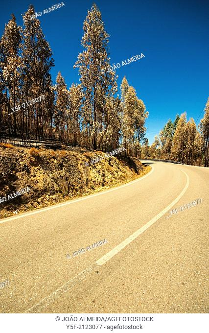 Burnt eucalyptus trees after a forest fire in central Portugal
