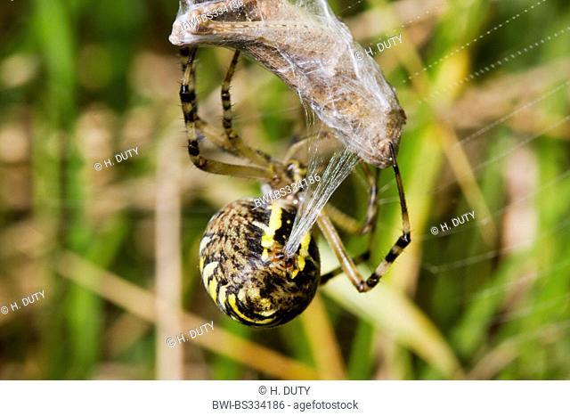 black-and-yellow argiope, black-and-yellow garden spider (Argiope bruennichi), female with caught grasshopper, Germany, Mecklenburg-Western Pomerania