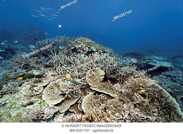 Hard corals, reef with various fish species, Great Barrier Reef, Queensland, Cairns, Pacific Ocean, Australia
