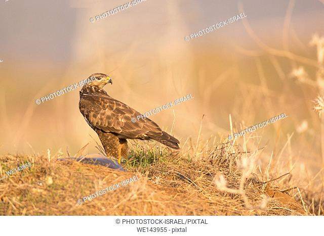 Common buzzard (Buteo buteo) on the ground. This bird of prey is found throughout Europe and parts of Asia, inhabiting open areas, such as farmland and moors