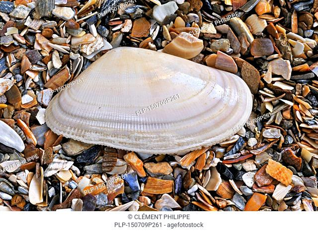 Banded wedge shell (Donax vittatus) washed on beach