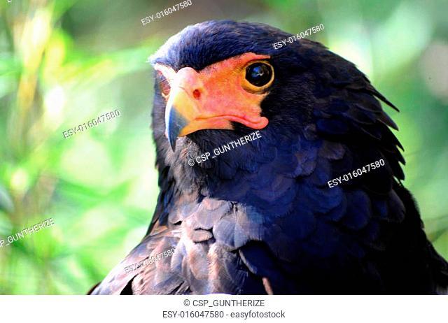 Bateleur Eagle Portrait